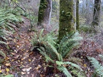Trail and ferns at the Sehome Arboretum by Joan Drinkwin